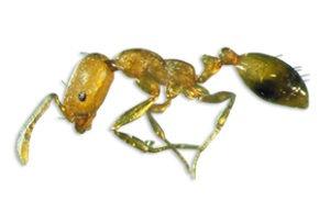 a Pharaoh Ant