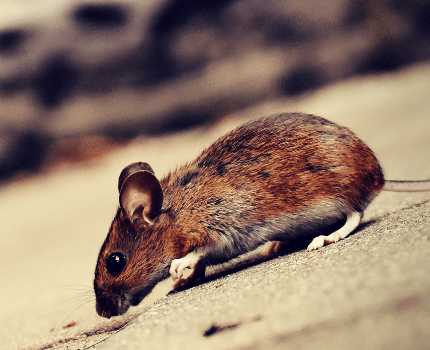 Need a mice exterminator? Assassins pest Solution can help you
