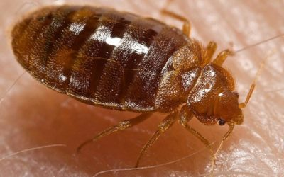 Bed Bug Exterminator: How Do Bed Bugs Work? (Video)