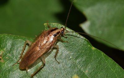 What You Need to Know About German Cockroaches