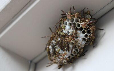 Identify a Wasp Infestation and Get Professional Wasp Removal