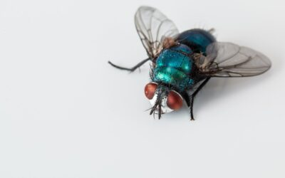 The Basics of Cluster Fly Pest Control